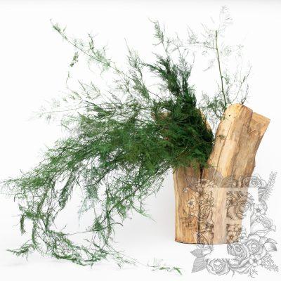 Asparagus fern - Bunch