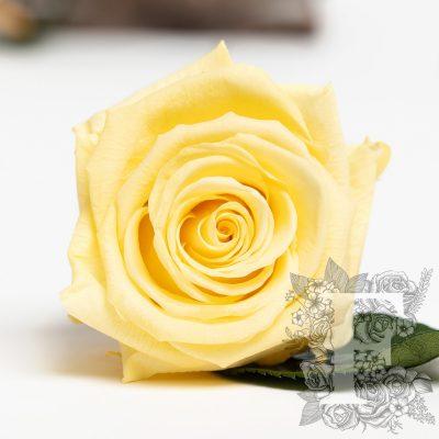 Fora exclusive roses - Medium - 6 Heads - Light yellow