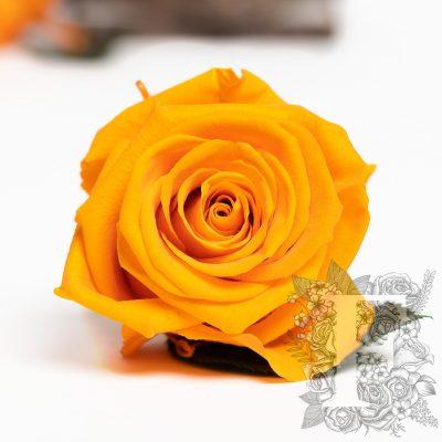 Fora exclusive roses - Medium - 6 Heads - Orange