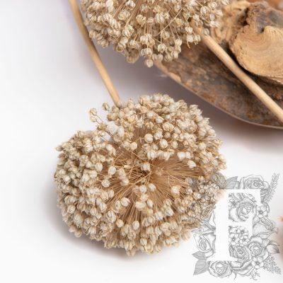 Allium - 3 Stems