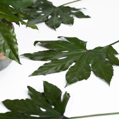Aralia Leaf - Pack of 10