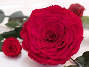 RoseAmor