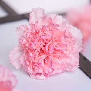 Preserved Carnations Wholesale