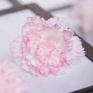 Carnation Hanairo