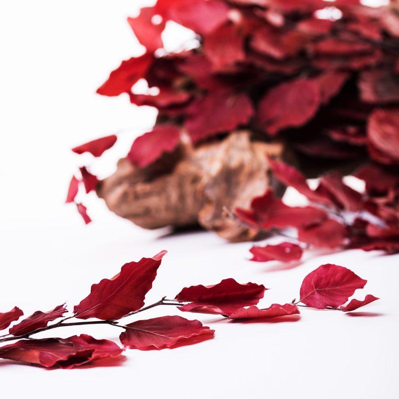 Fagus Red02 1