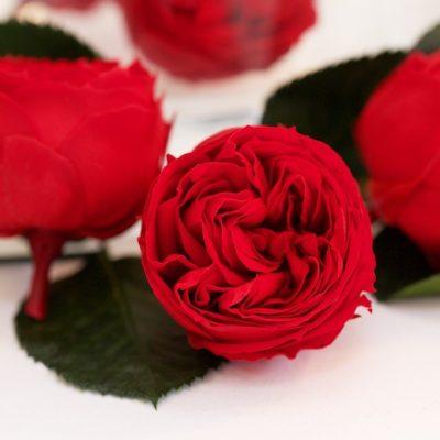 Garden Rose - Kabukiza - 3 Heads
