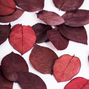 Rose Leaves Red