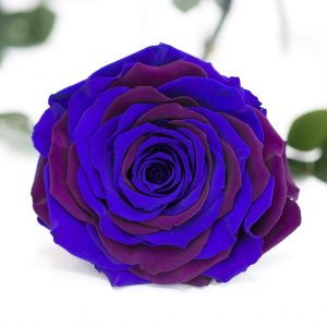 Exclusive XXL (Blue/Purple)