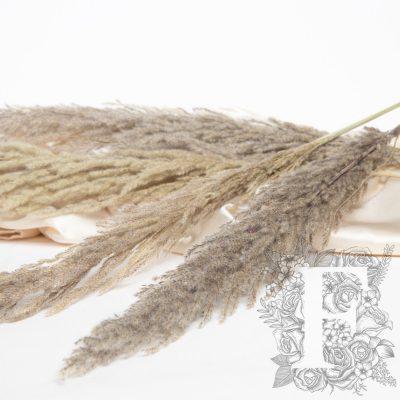 Pampas - Eryanthus - 3 Stem - 120cm