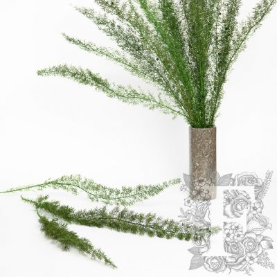 Asparagus foxtail fern - 100g