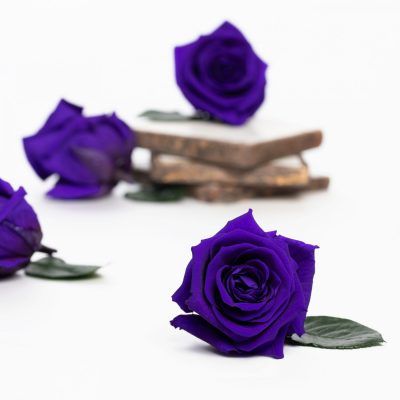 Fora exclusive roses - Medium - 6 Heads - Dark Purple