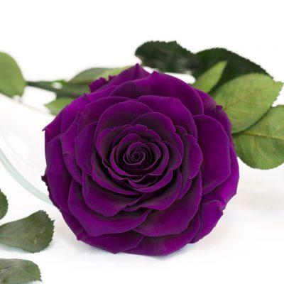 RoseAmor - Bonita Rose - 1 Head