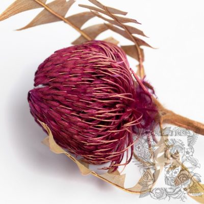 Banksia Baxteri - Stem