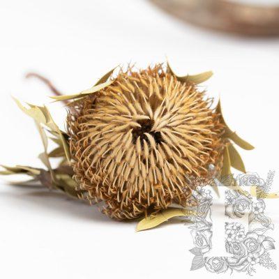 Banksia Baxteri - Stem - Natural