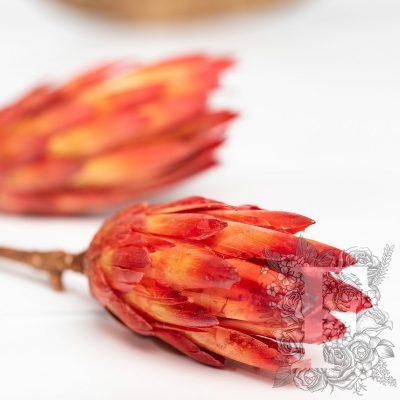 Repens Blume - 3 Stems
