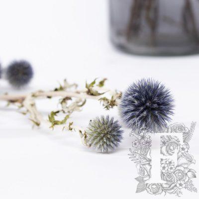 Echinops - thistle - Blue - Bunch