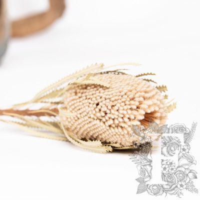Banksia Hookerana - Stem - Cream