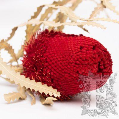 Banksia Hookerana - Stem - Red