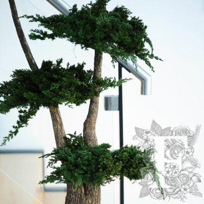 Jumbo Juniperus