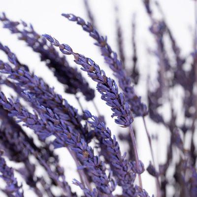 Lavander - Bunch - Purple