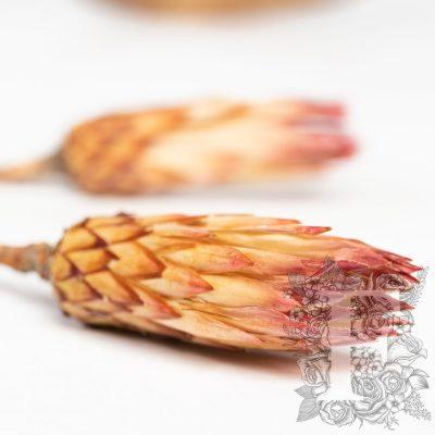 Obtusifolia - 3 Stems