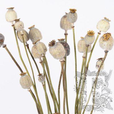 Papaver - Poppy pods - Bunch