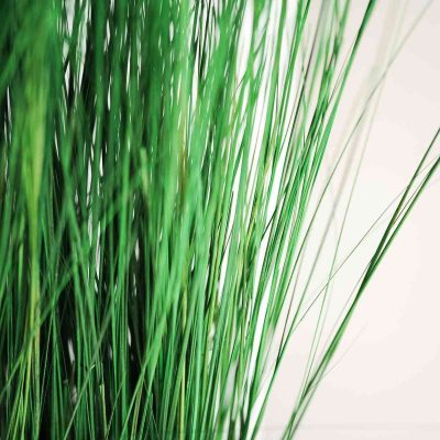 Plant Ginerium 2