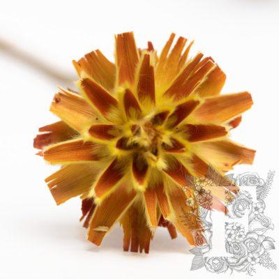 Plumosum - 5 stems - Natural