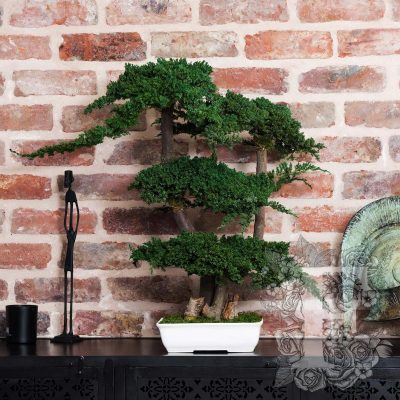 Bonsai Procumbens