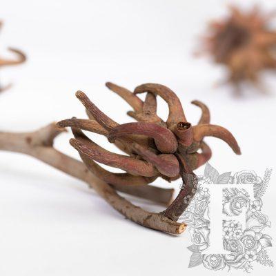 Spidergum Claw - 3 Stems