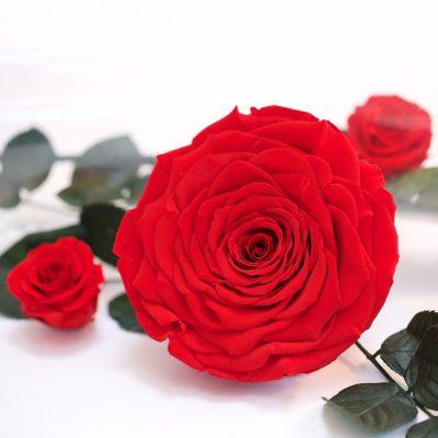 RoseAmor - Wayra Roses - 1 Head